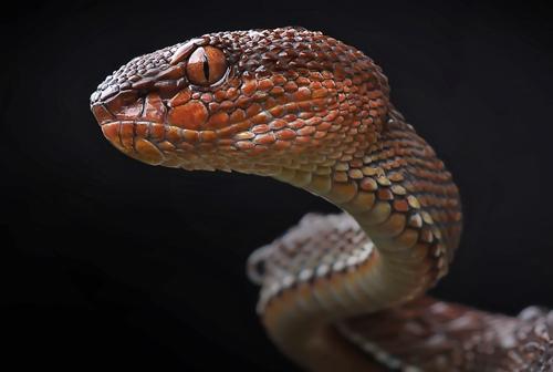 yan hidayat tilsitt gallery mangrove viper snake (2)