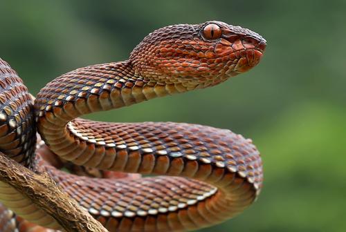 yan hidayat tilsitt gallery mangrove viper snake (3)