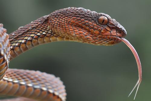 yan hidayat tilsitt gallery mangrove viper snake (4)