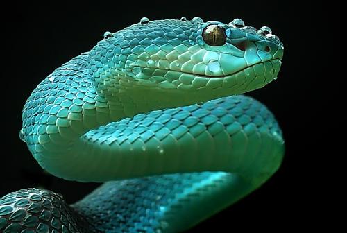 yan hidayat tilsitt gallery pit viper snake (1)