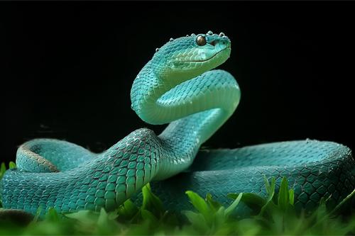 yan hidayat tilsitt gallery pit viper snake (3)