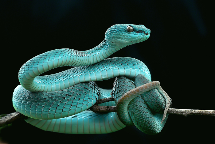 yan hidayat tilsitt gallery pit viper snake (4)