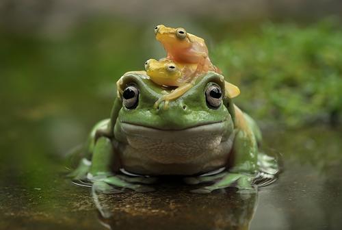 yan hidayat tilsitt gallery pug frog (2)