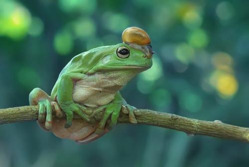yan hidayat tilsitt gallery pug frog (3)