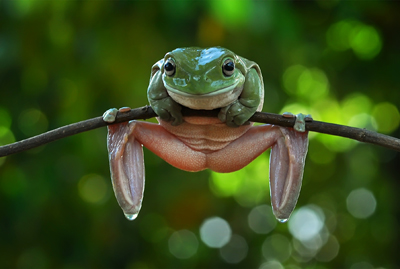 yan hidayat tilsitt gallery pug frog (5)