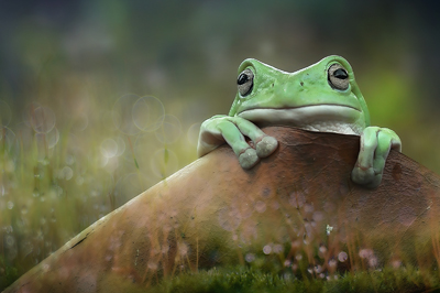 yan hidayat tilsitt gallery pug frog (6)