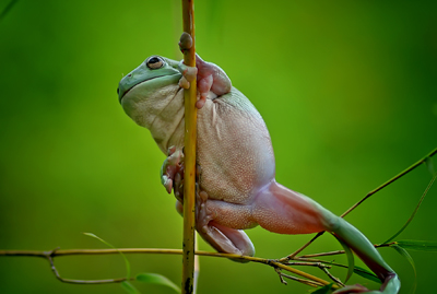 yan hidayat tilsitt gallery pug frog (8)
