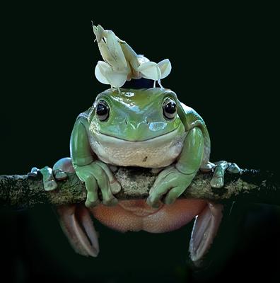 yan hidayat tilsitt gallery pug frog Orchid Mantis (Hymenopus Coronatus)