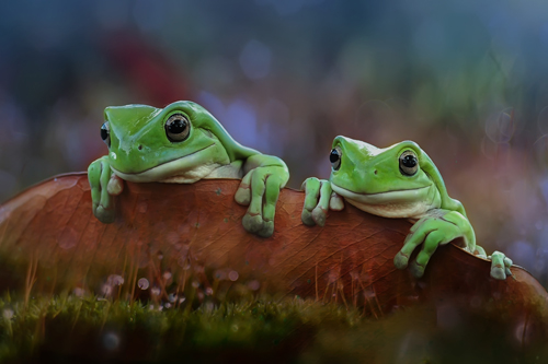 yan hidayat tilsitt gallery pug frog